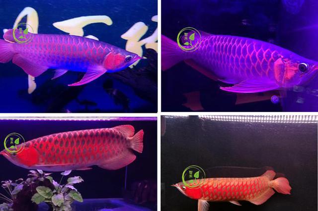 tarka halak led kizárólag vörös sárkány trisz 造景 akváriumod vörös aranysárkány a lámpa három vízi hal vízálló
