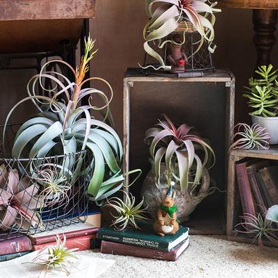 【掬涵】霸王空气凤梨高档仿真花植物电烫卷Steptophylla另类陈列