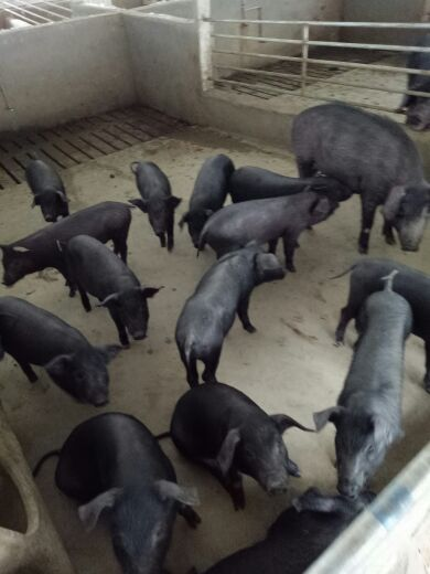 Zhumiao in living pigs shipping sow seedling free shipping 20 pounds 30 pounds 40 pounds of black pigs Zhumiao Black Pigs