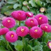 阳台绿植雏菊草莓雪糕塔苏种子
