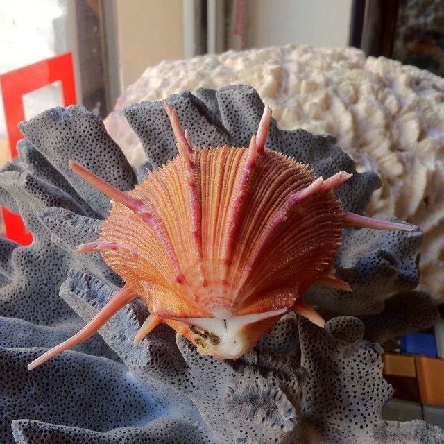 en pakke post ged spondylus shell og conch coral platform indretning af akvarium