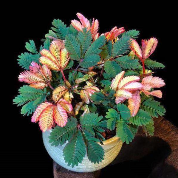 彩叶【含羞草花种子】奇趣植物害羞草盆栽室内阳台花籽四季易活