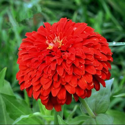 百日草种子百日菊花籽别墅庭院景观绿化四季播种花卉植物野花种子