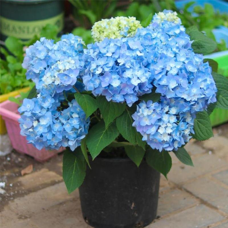 绣球花苗盆栽花卉植物室内好养的花四季开花不断无尽夏大花易成活