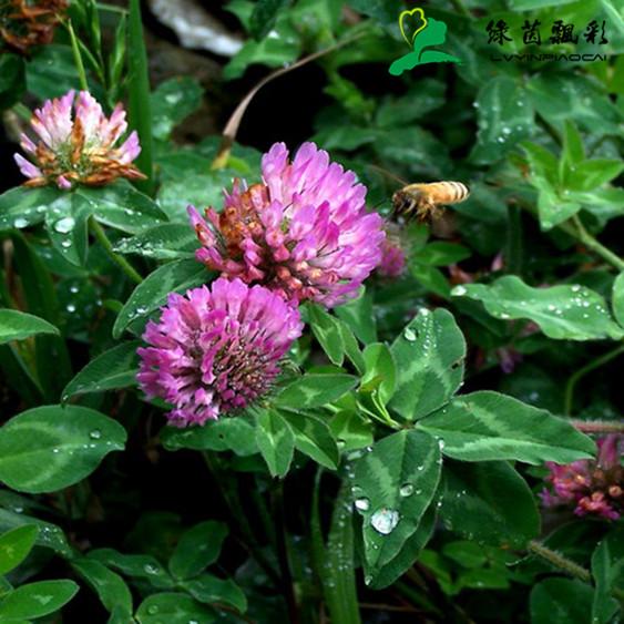 白三叶草种子红三叶草种子进口草籽四季青草坪种子牧草种子花种子